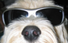 face of pale spoodle dog wearing dark glasses.