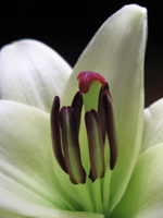 Close-up of white lily showing purple stamens and a red-tipped pistel.