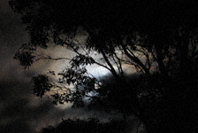 Full moon in clouds behind tree: large leafy tree in silhouette against cloods lit by full moon behind them.