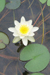 Waterlilly in Pond: close-up of white waterlily with yellow centre with one complete pale green leaf below and parts of other leaves to left and top, as well as stems visible through the water.