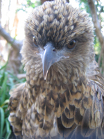 Close-up of the head and chest of a whistling kite.  The bird is looking almost straight at the camera.  Its fluffy head and chest feathers are fawn and black and its long, curved beak is grey.